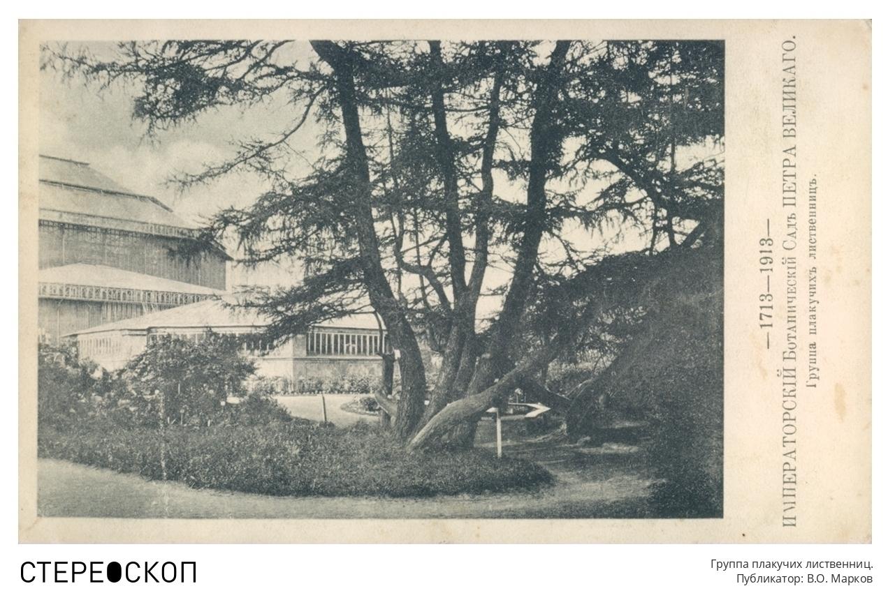 Императорский Ботанический сад Петра Великого. Группа плакучих лиственниц.