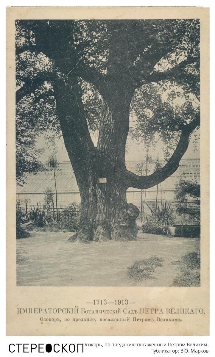 Императорский Ботанический сад Петра Великого. Осокорь, по преданию посаженный Петром Великим.