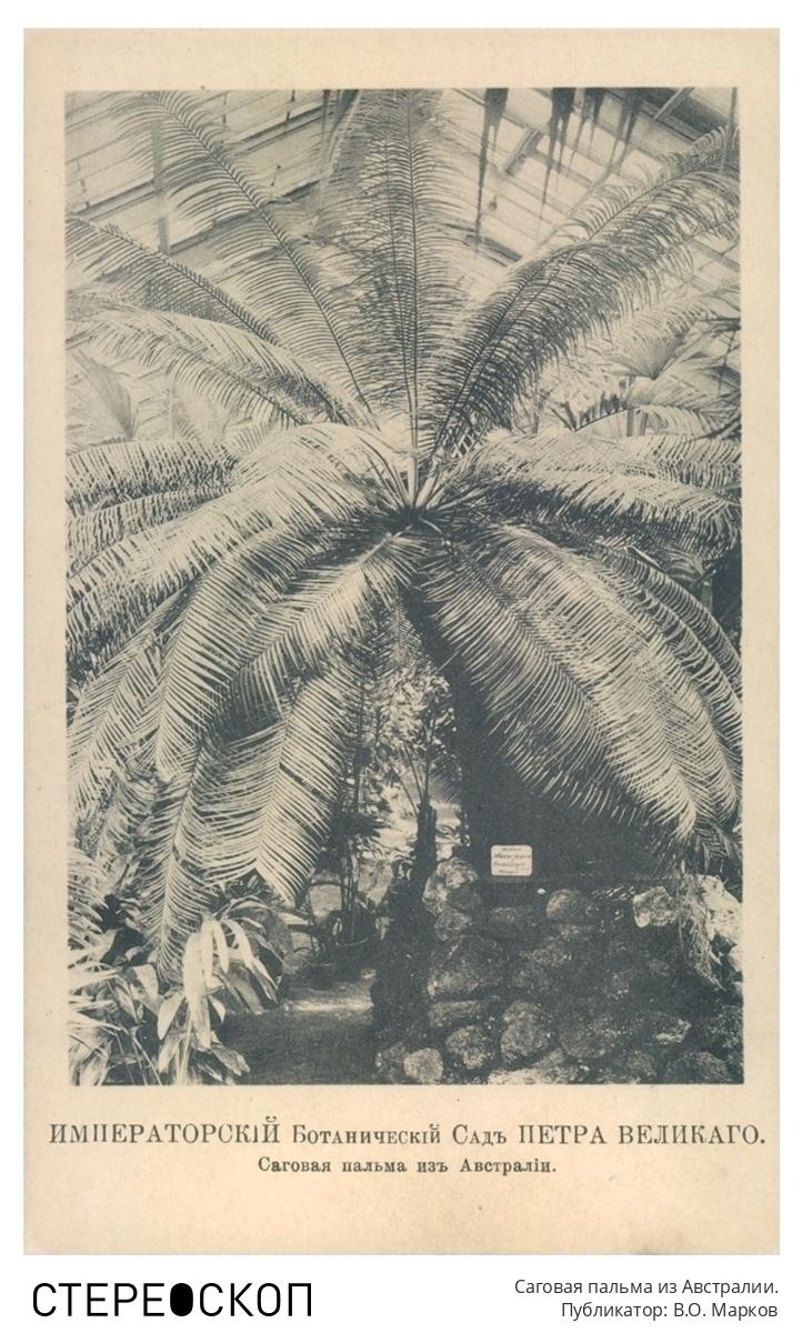 Императорский Ботанический сад Петра Великого. Саговая пальма из Австралии.